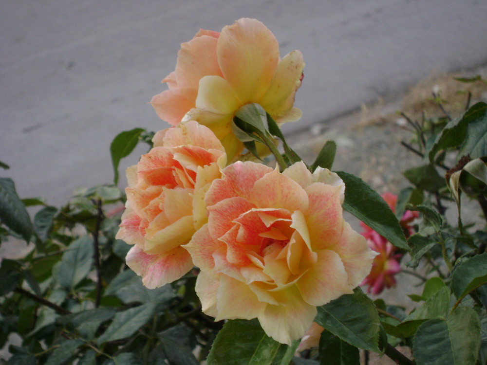 Some of my Roses