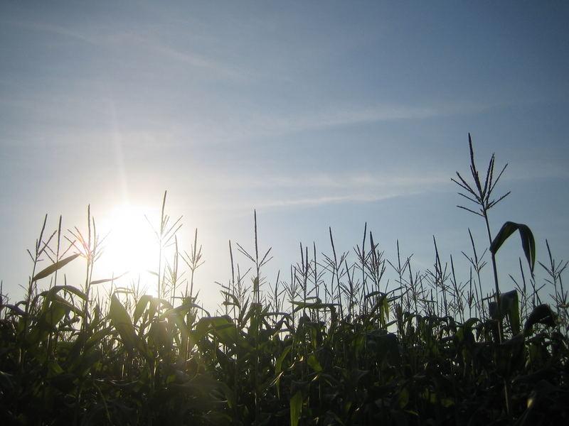 Sommer im Maisfeld
