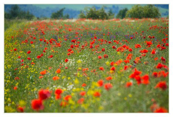 Sommer- Impression - (mit Diskurs über die Vergiftung der Felder...)