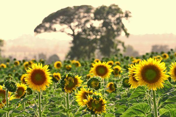Sommer in der Toskana - 1 -