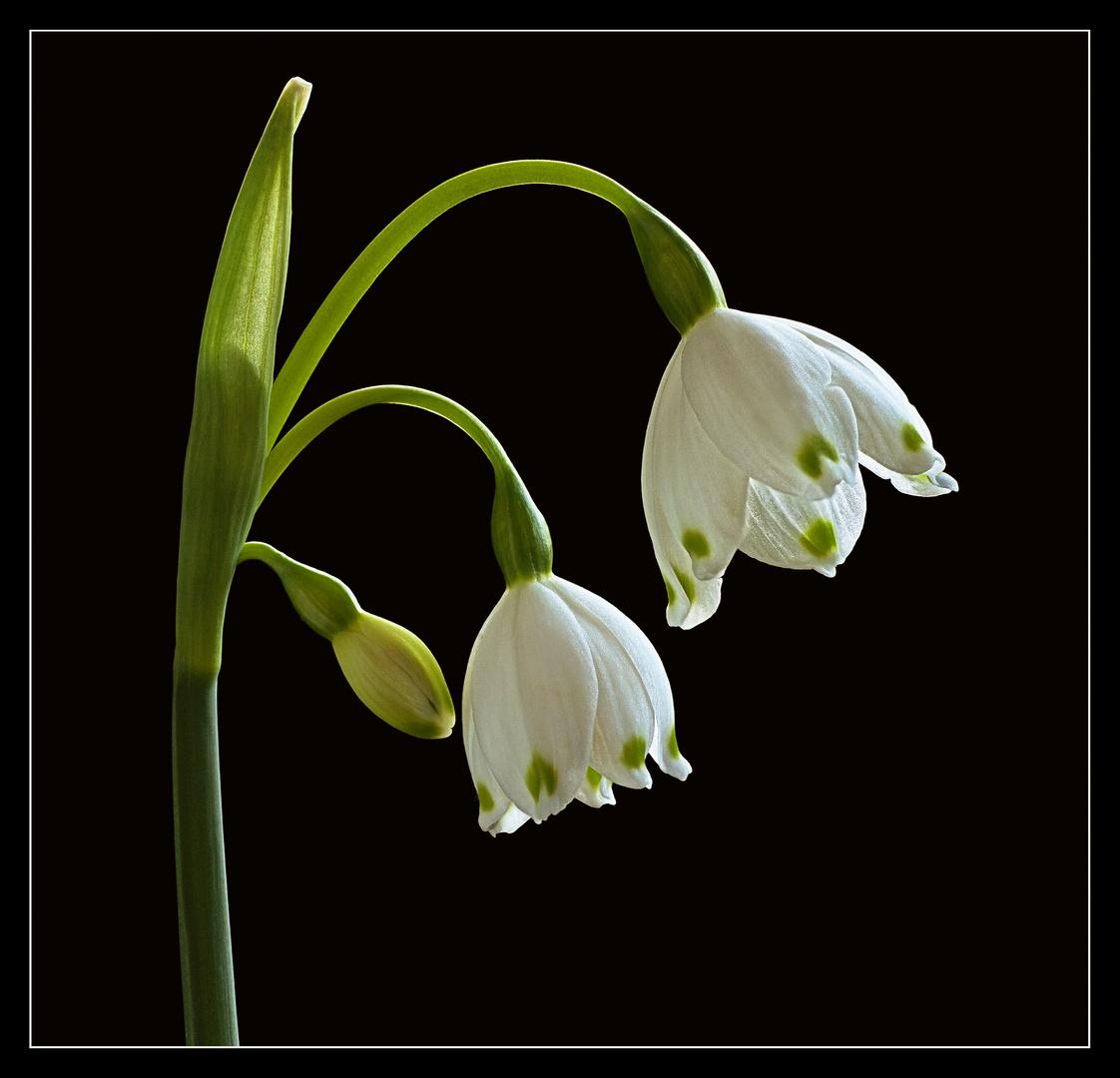 Sommer Knotenblume - Märzenbecher