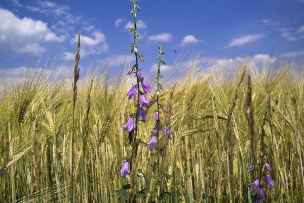 Sommer kornfeld