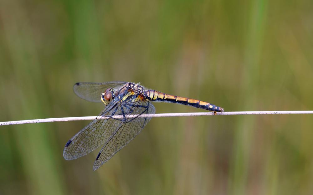 Sommer-Libelle