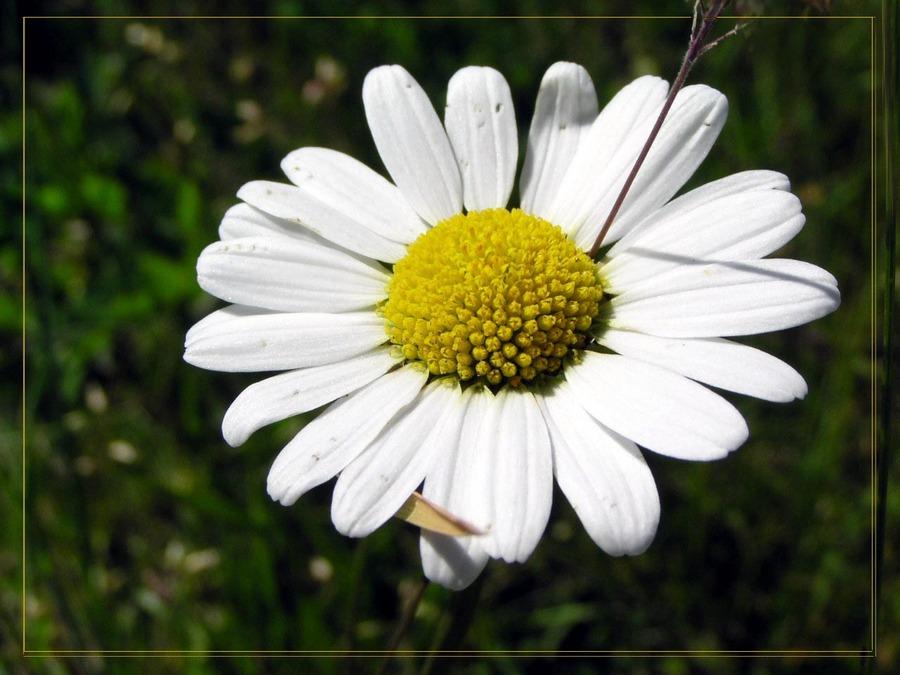 Sommer, Sonne.... Margerite