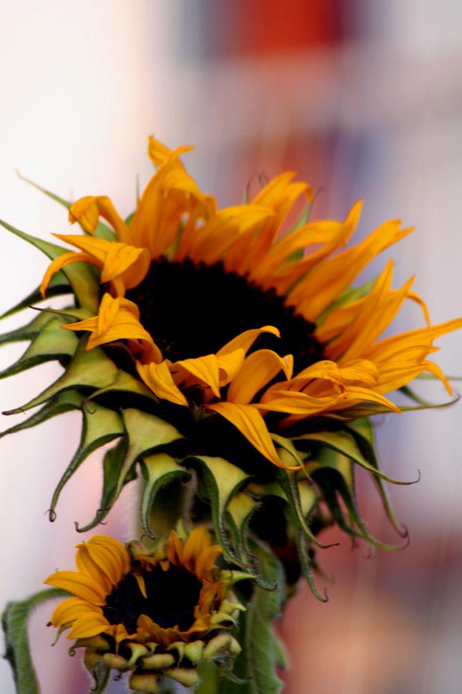 Sommer, Sonne, Sonnenblume