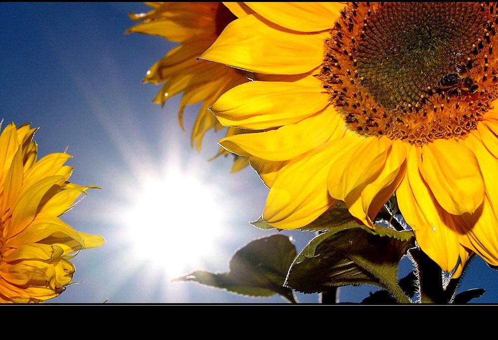 Sommer, Sonne, Sonnenblume (Biene)