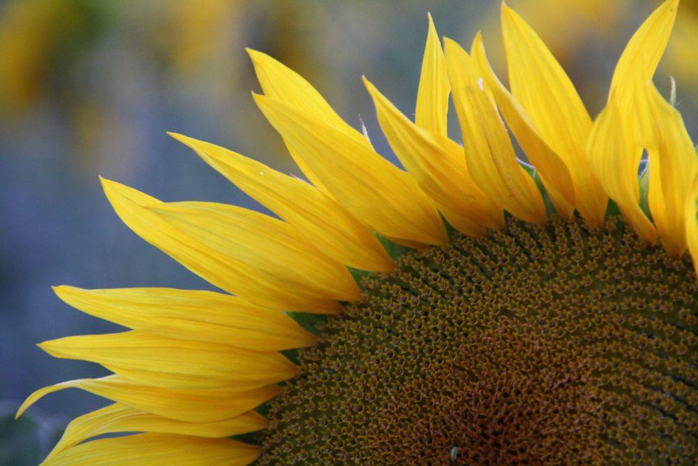 Sommer, Sonne, Sonnenblume, ... by Betti60