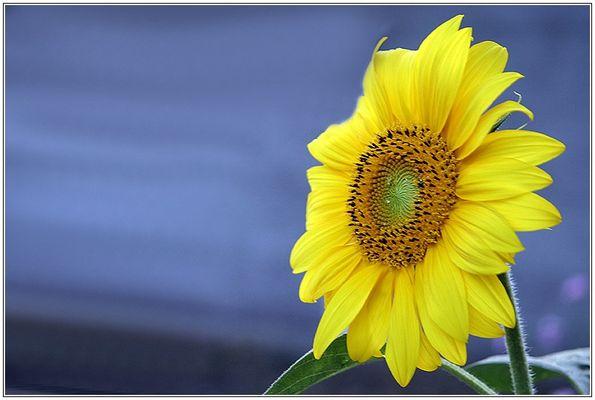 Sommer-Sonnen-Blume