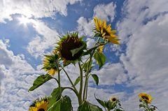 Sommer - Sonnenblumen