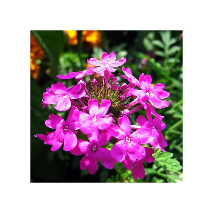 Sommerblüte II
