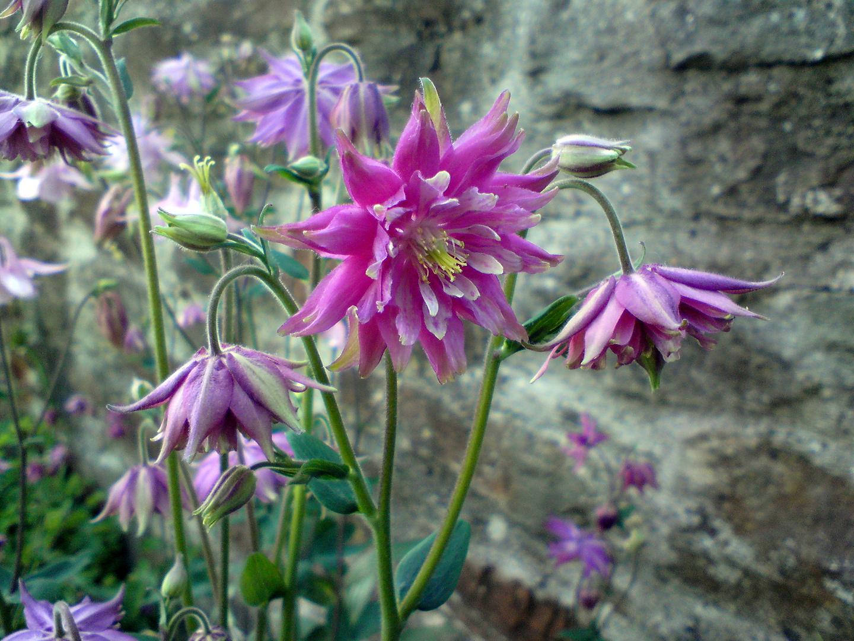 Sommerblüten Akelei