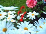Sommerblüten - Wie lange noch? -