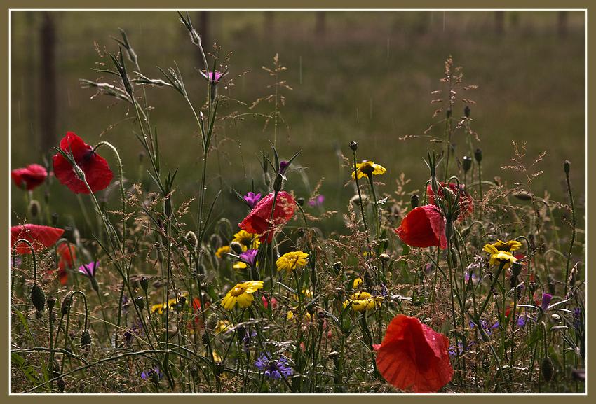Sommerblumenwiese