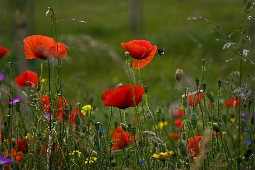 Sommerblumenwiese II