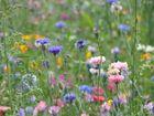 Sommerblumenwiese III