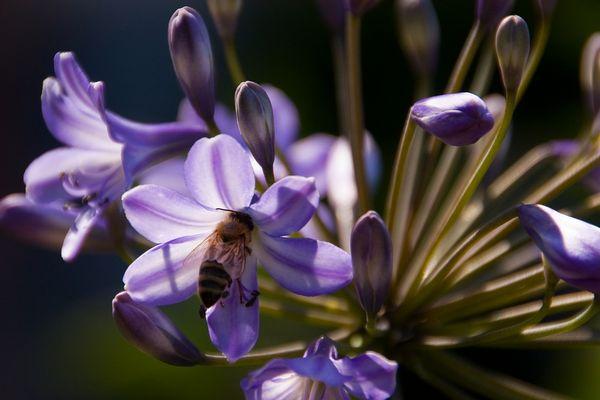 Sommerfeeling pur - Biene an Agapanthus