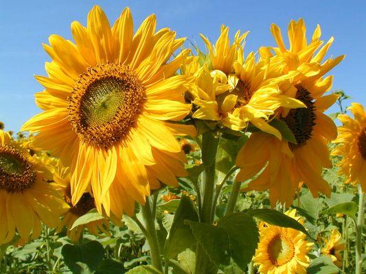 Sommer,Sonne,Blumen