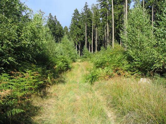 Sommerwalddickicht