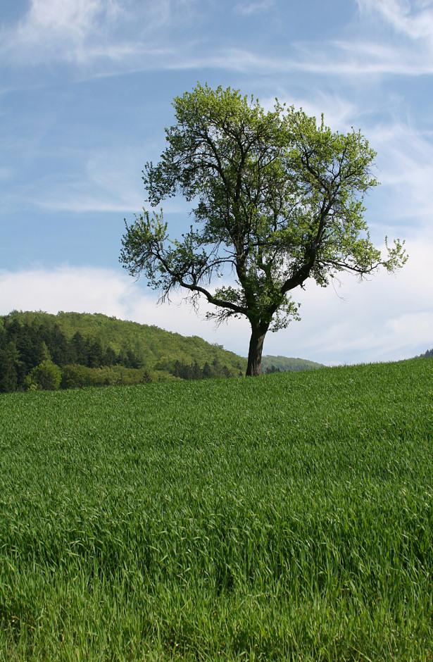 Sommerwiese mit Sommerbaum