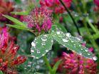 Sommerwiese nach dem Regen
