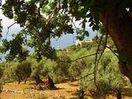 Son Marroig - der Oliven Hain