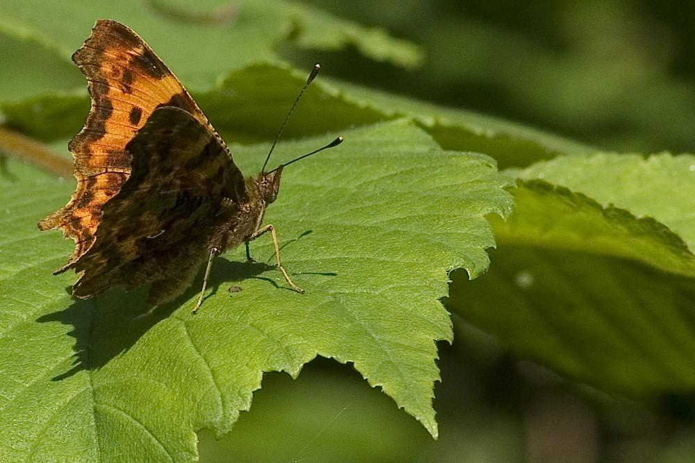 So'n rotbrauner Schmetterling