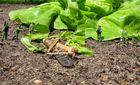 Sondereinsatz im Salatbeet