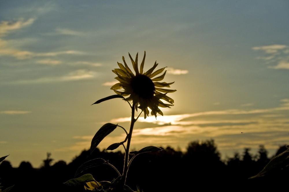 Sonne - Blume