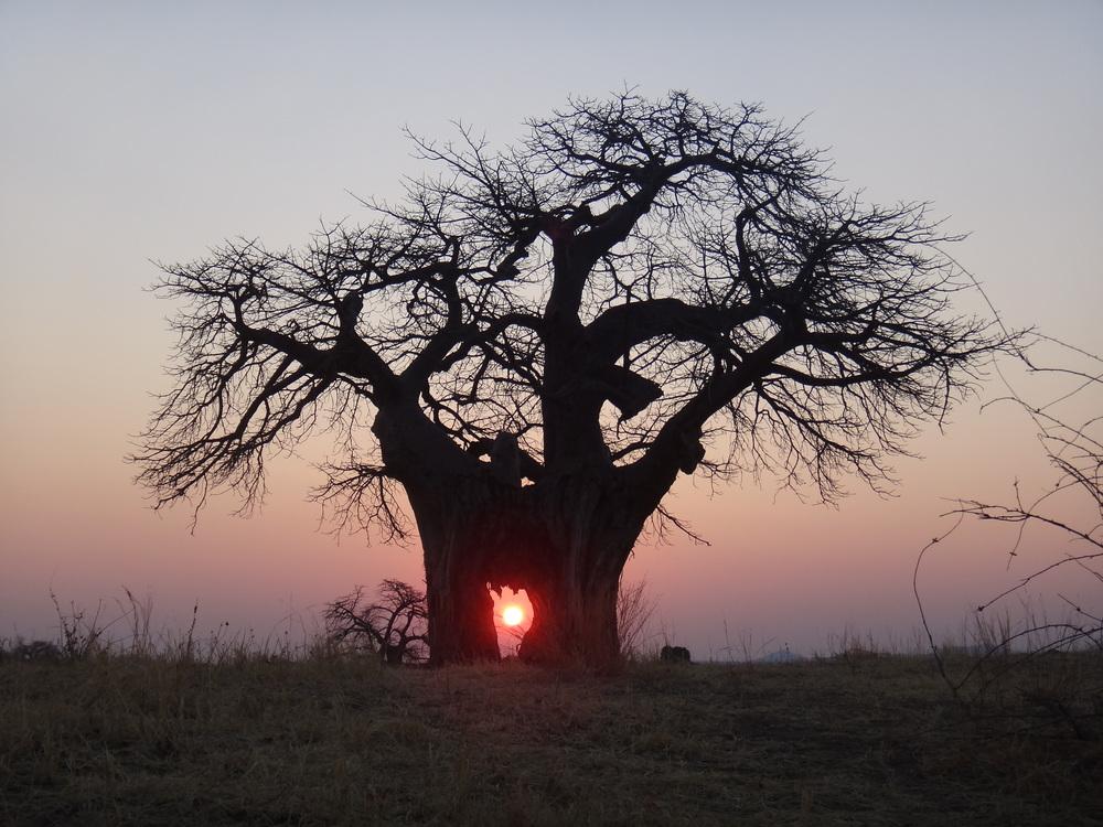 Sonne durch Baobab