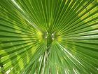 Sonne im Palmenblatt