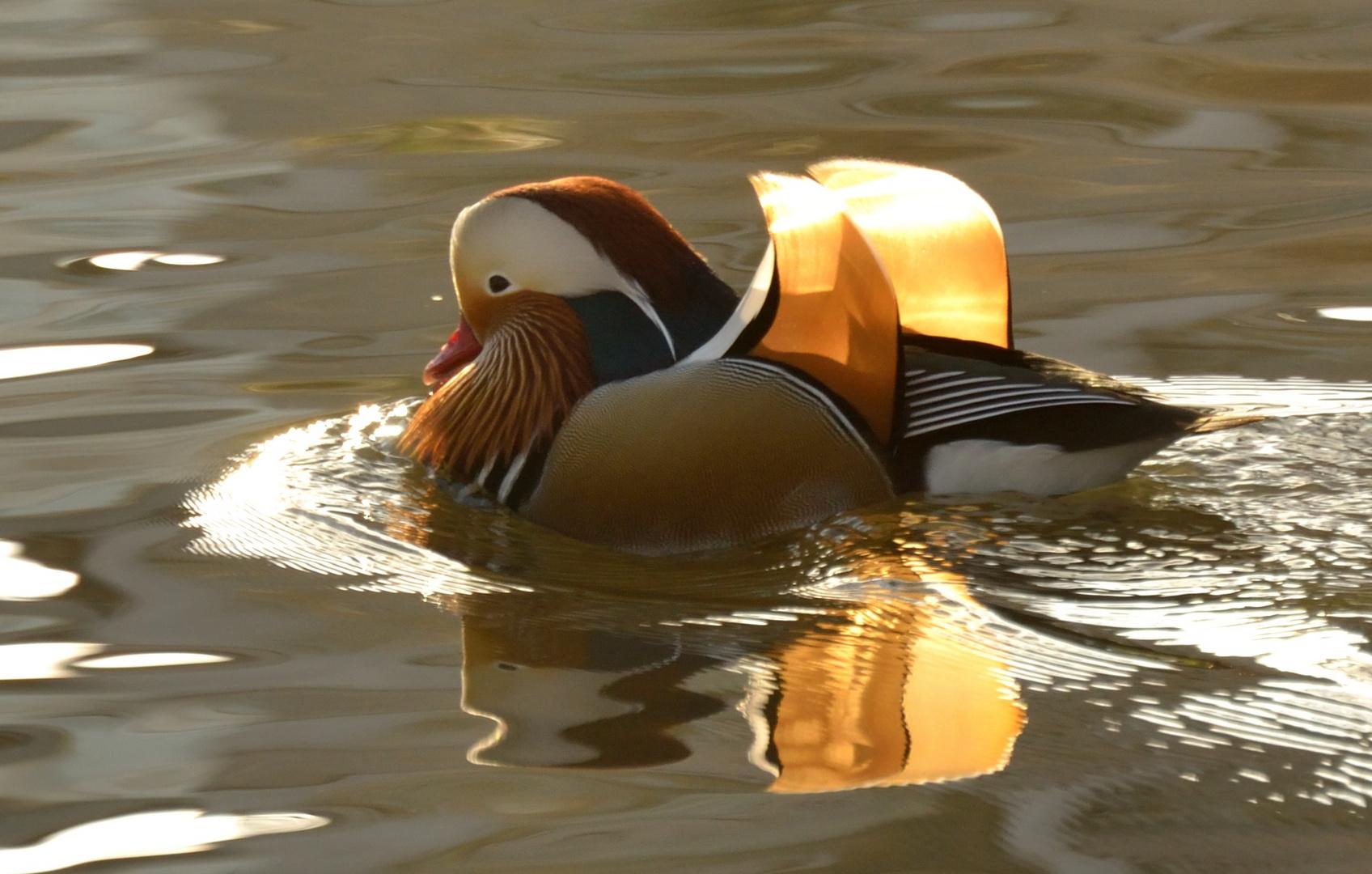 Sonne in den Flügeln und im Wasser gespiegelt