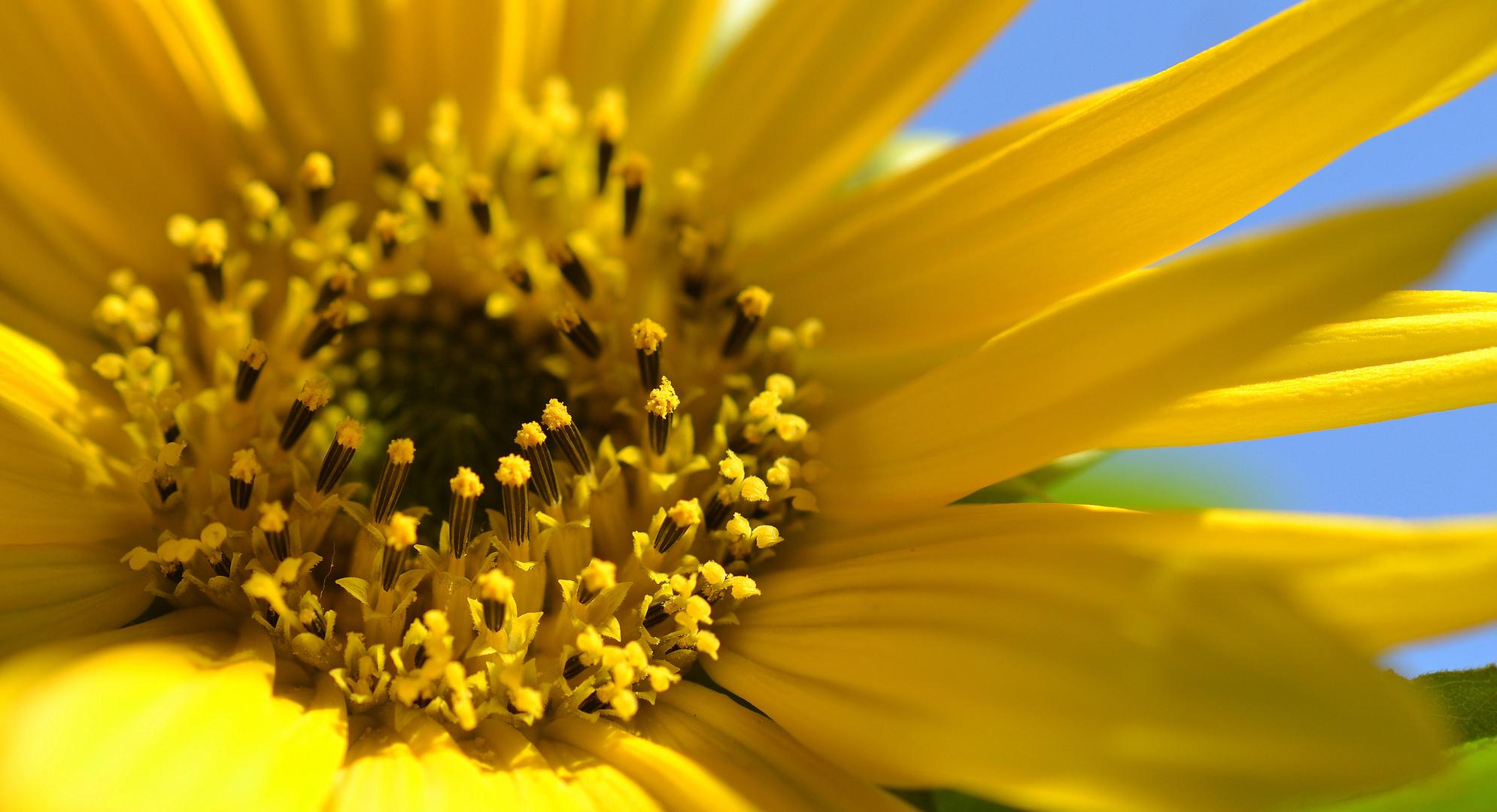 SONNE n-Blume