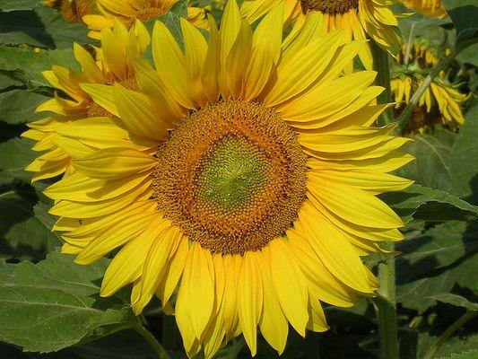 Sonne, Sommer, Sonnenblumen