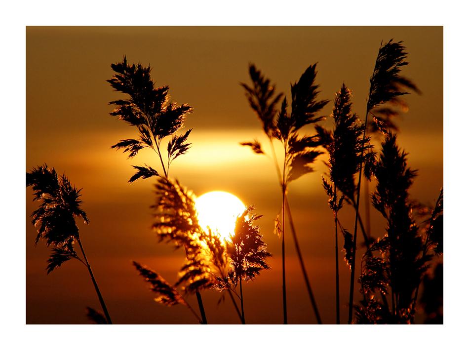 Sonne und Schilf