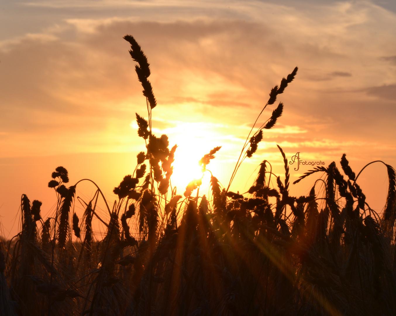 Sonne und Weizen