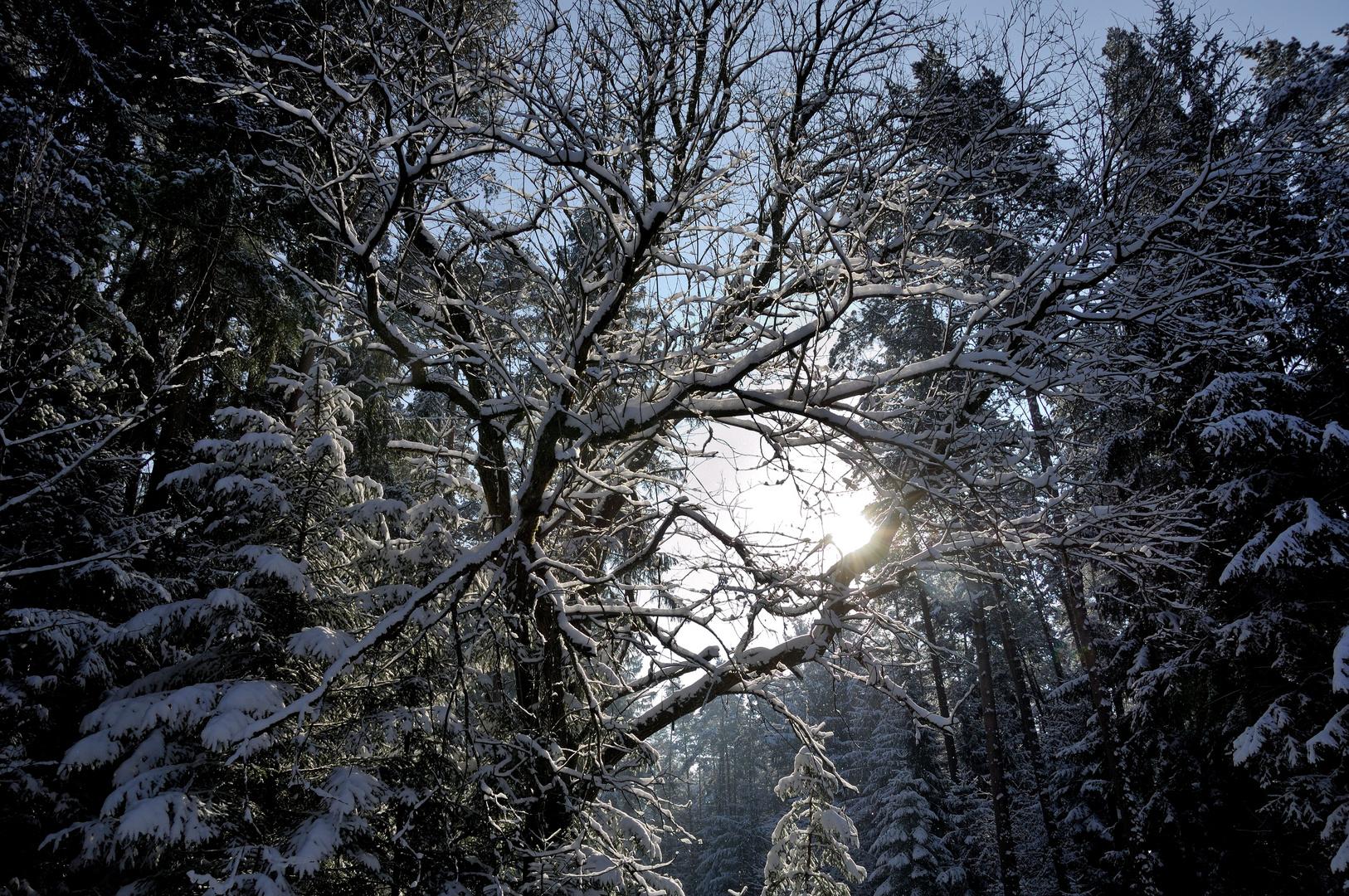 Sonne zwischen verschneiten Bäumen