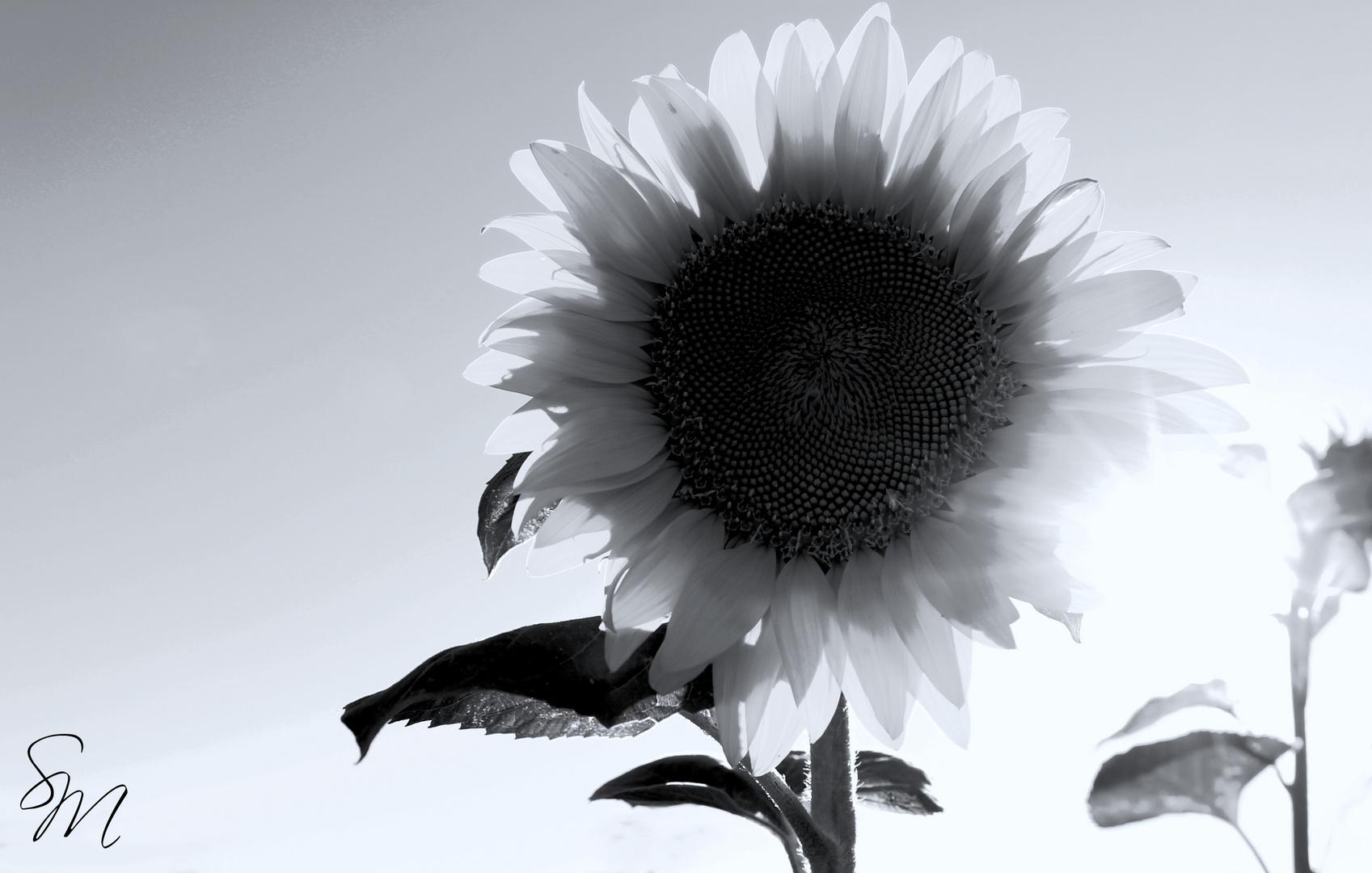 Sonneblume.