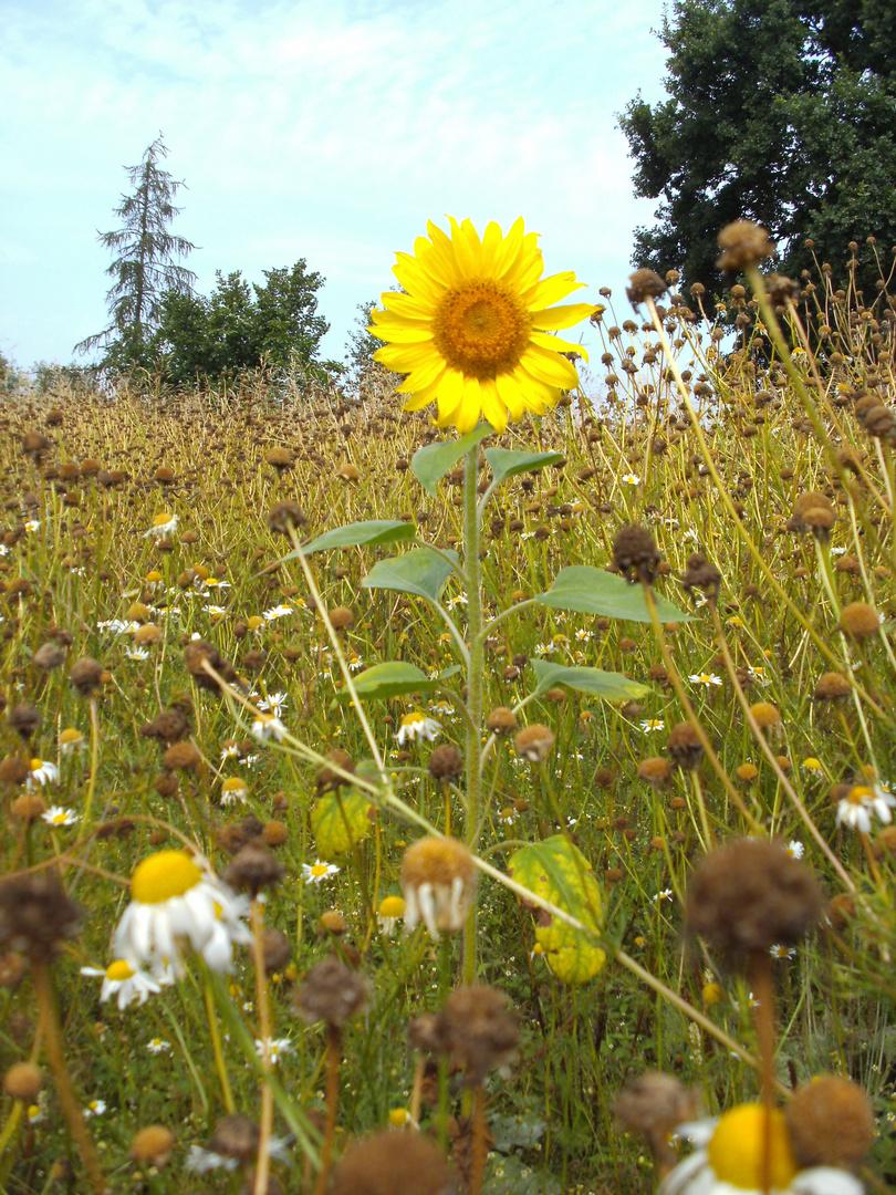 Sonneblume