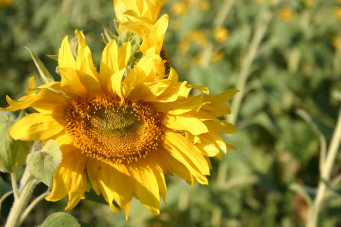 Sonneblume mit Pflichtbewusstsein!