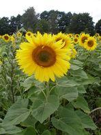 Sonneblumenfeld