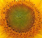 Sonnen-Blüte