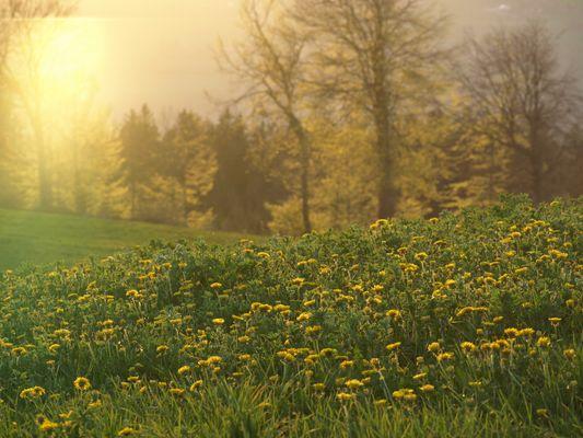 Sonnen-Blumen