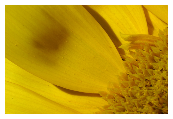 Sonnen-Blumen-Blatt