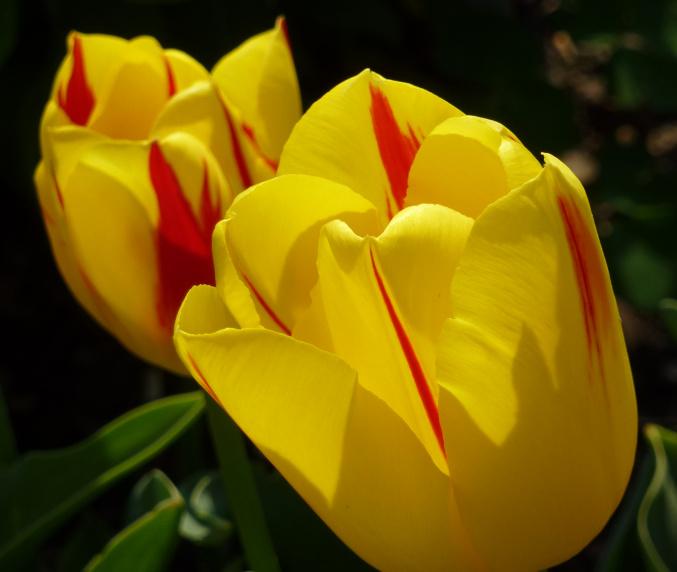 Sonnenanbetende Tulpen