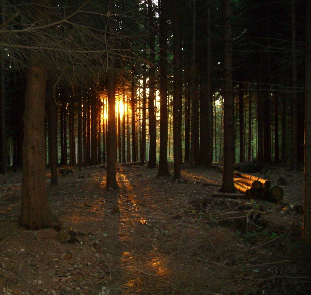 Sonnenaufgang durch den Tannenwald