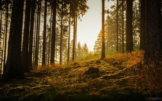 Sonnenaufgang im Fichtenwald