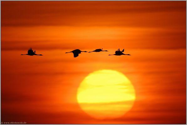Sonnenaufgang... Kranichflug *Grus grus*