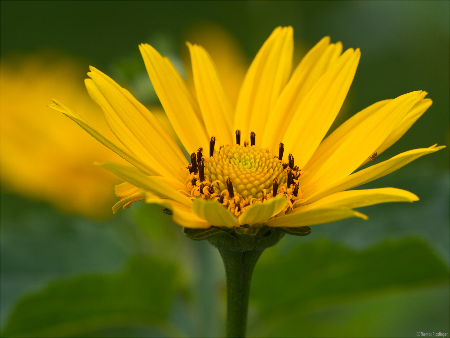 Sonnenauge (Heliopsis)..