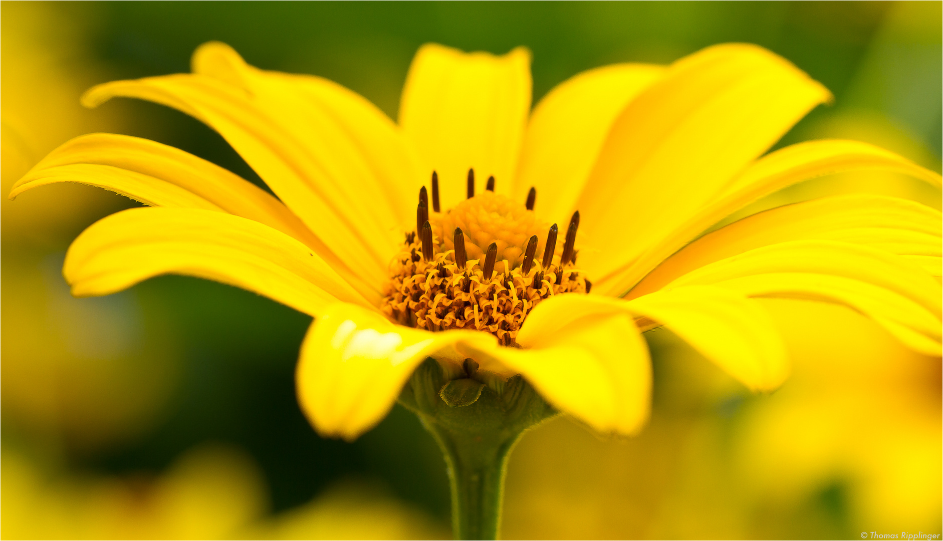 Sonnenauge (Heliopsis helianthoides)..