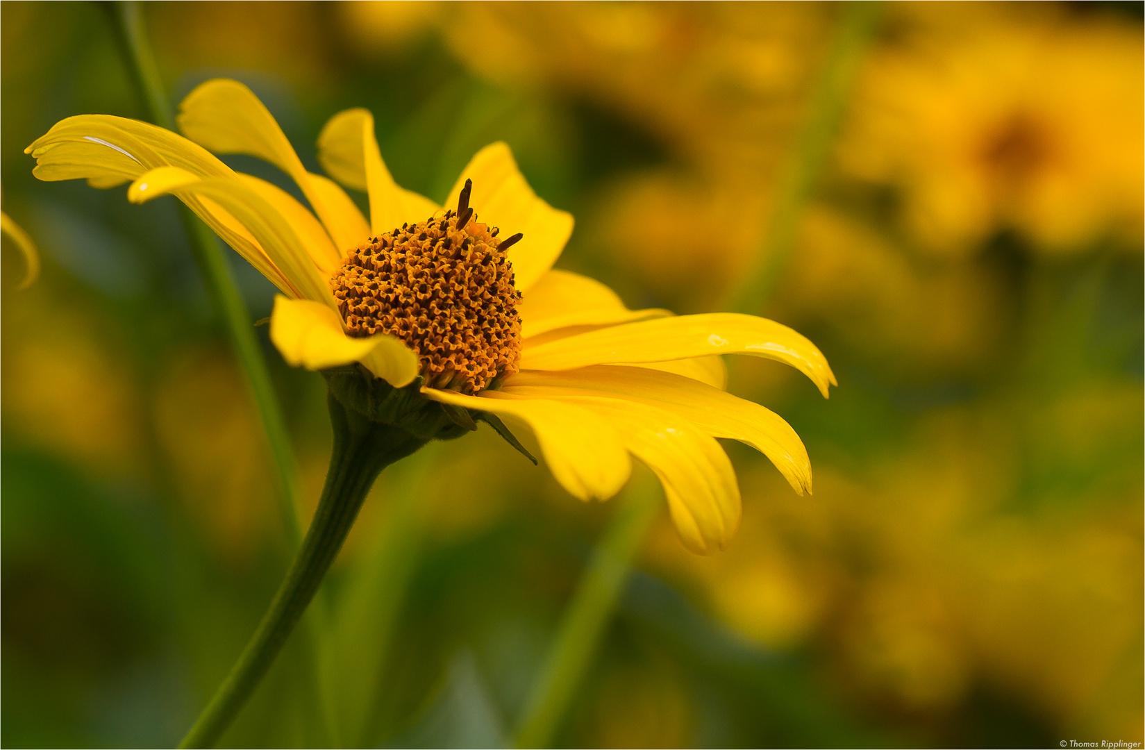 Sonnenauge (Heliopsis helianthoides)